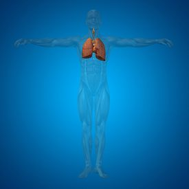 image of respiratory  - Concept or conceptual anatomical human or man 3D respiratory system on blue background - JPG