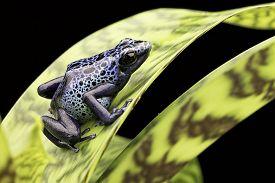 picture of poison arrow frog  - frog Amazon rain forest Suriname Dendrobates Azureus - JPG