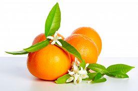 stock photo of valencia-orange  - Oranges with orange blossom flowers in spring on white background - JPG