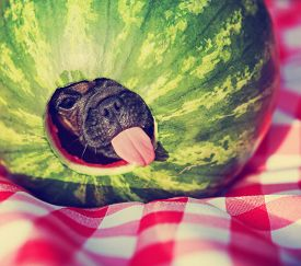 pic of chug  - a cute baby pug chihuahua mix puppy looking out of hole cut into a watermelon and licking around the edge during summer - JPG
