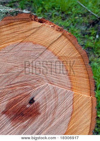 Freshly cut log detail