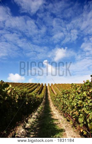 Grape Vines And Blue Sky