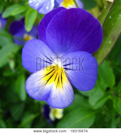 blue and yellow viola flower