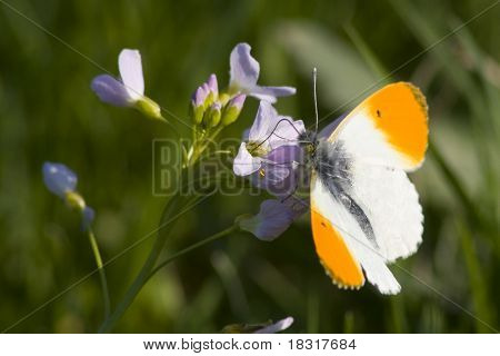 Orange Tip on a spring meadow