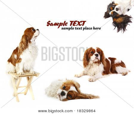 white background with a Cavalier King Charles Spaniel