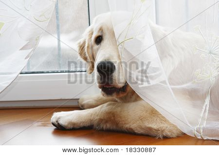 Dog Breed Labrador Retriever in the window under the blind