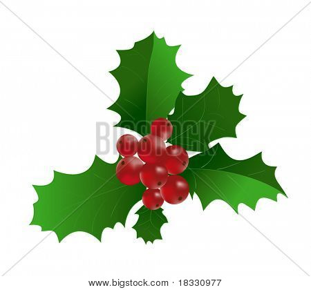 Ilex aquifolium - Branch of Holly with red berries. Vector