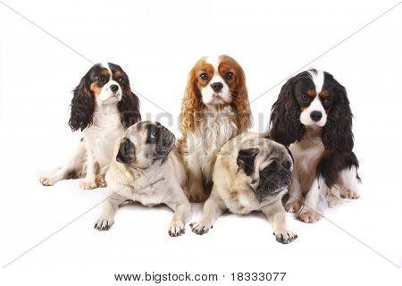 Drei Hunderasse Cavalier King Charles Spaniel und zwei Pugs isoliert auf weißem Hintergrund