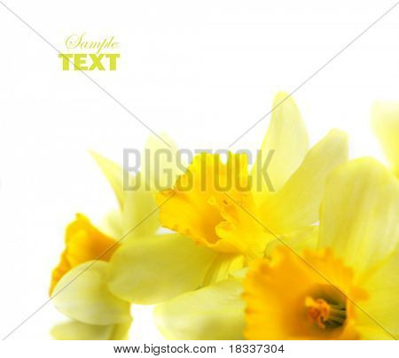 spring blossom daffodil isolated on white background