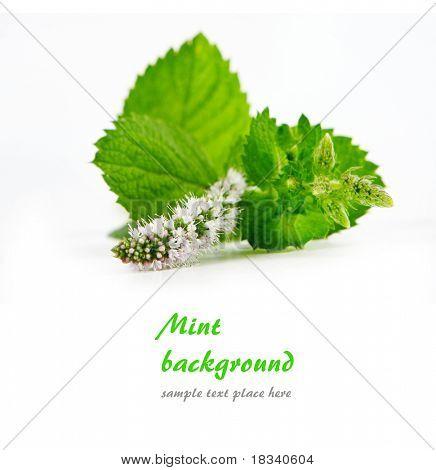 Fresh mint leaves in white. Shallow DOF