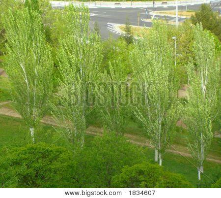Windblown Poplars Big Stock