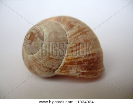 Orange Brown Snail  Shell