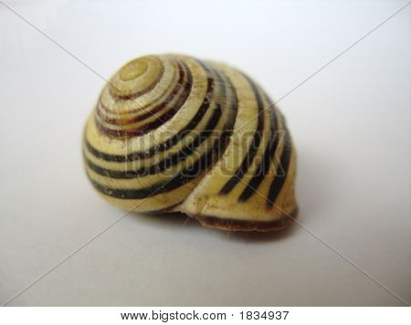 Striped Snail Shell