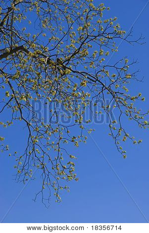 Leaves sprouting on a tree at the arrival of spring