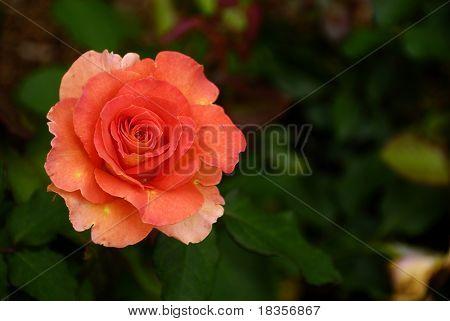 A bright orange rose after the night rain