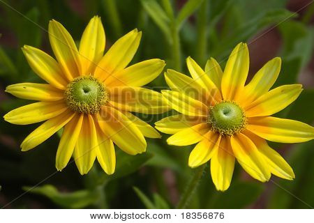 closup shot of two sun flowers on a green background