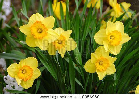 Narcisos brillantes en la llegada de la primavera