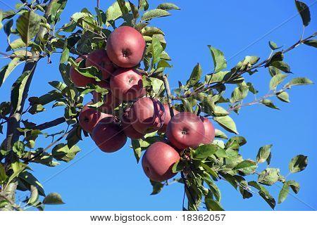 Ein Apfel am Tag hält den Doktor Weg