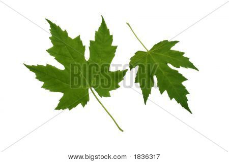 Two Green Platan Leaves.