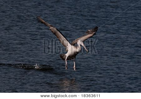 Spot billed pelicans looking active early morning