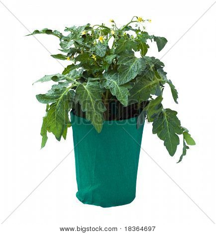 Tomato seedling in a flower pot, isolated on a white background.
