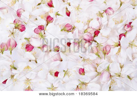 cherry blossom petals background
