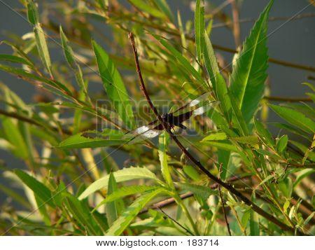 Dragonfly 002