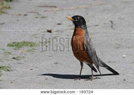 American Robin Img_2132