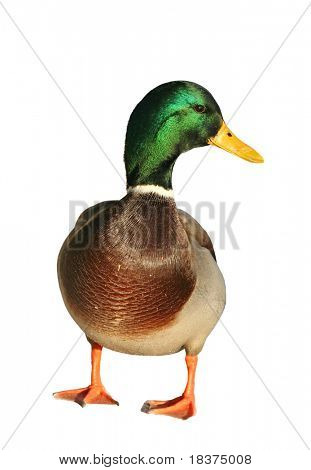 nice duck isolated