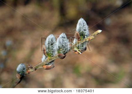 spring willow catkins (Salix caprea)