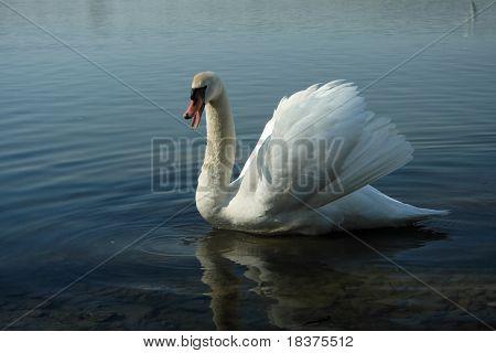 impending ( warning) swan