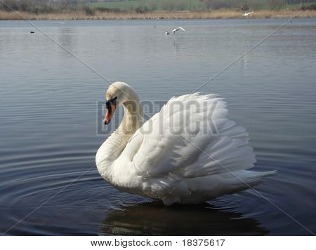 impending ( warning) swan