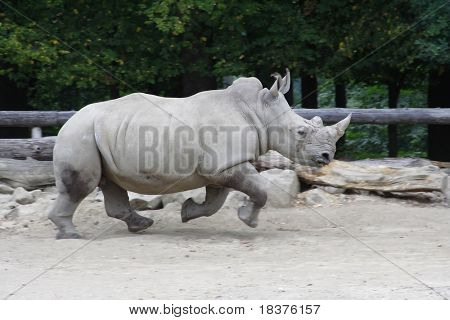 Big Rhino running at paddock