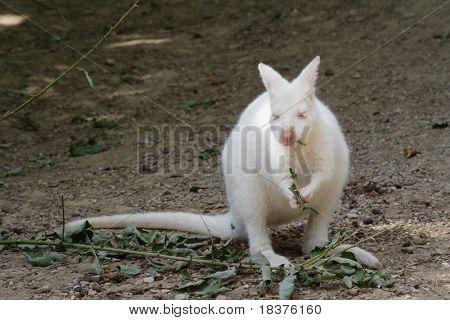 Nature albino kangaroo eating foliage
