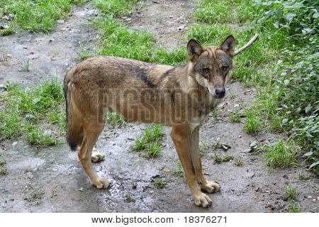 Wolf puppy standing and looking round
