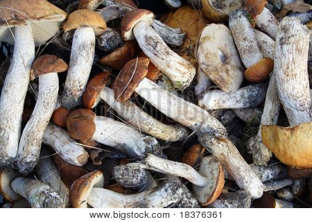 background  close- up mushroom of shaggy boletus