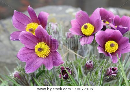 open pasque-flower at spring time