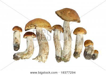 close- up mushroom of shaggy boletus on white background
