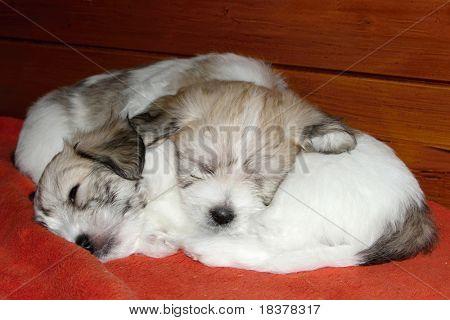 two sleeping puppies uncommon breed  Coton de Tulear