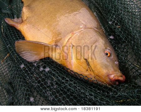 Tench in net