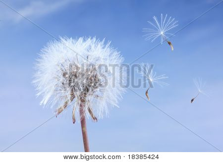 close-up of a dandelion isolated on a  blue sky