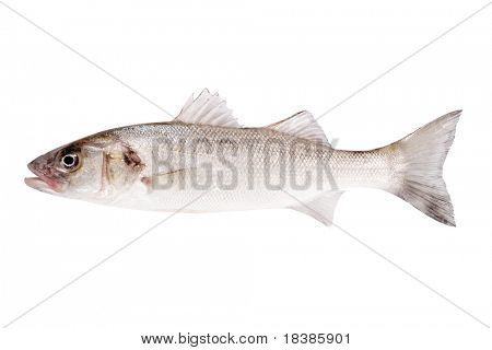 fish bass isolated on white