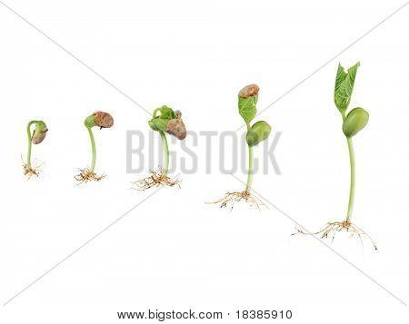 germinación de la semilla de frijol aislada en blanco