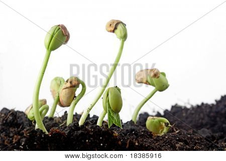 bean seeds germination isolated on white