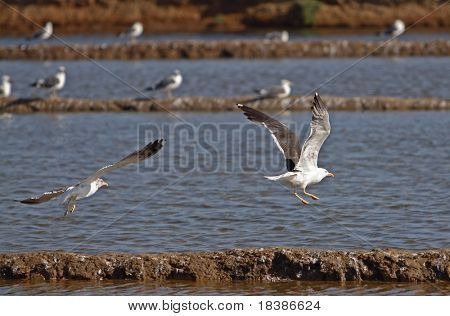 two seagulls flying in the marine cost near Tavira, Algarve, Portugal
