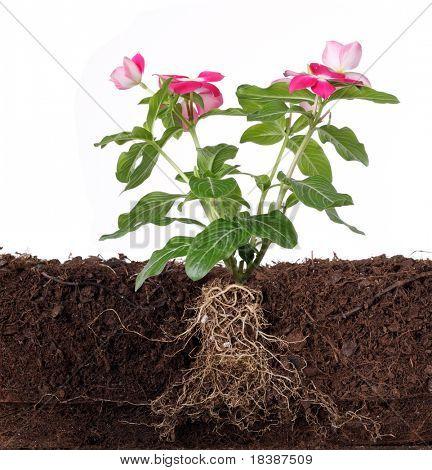 planta com flores e raiz visível isolado no branco