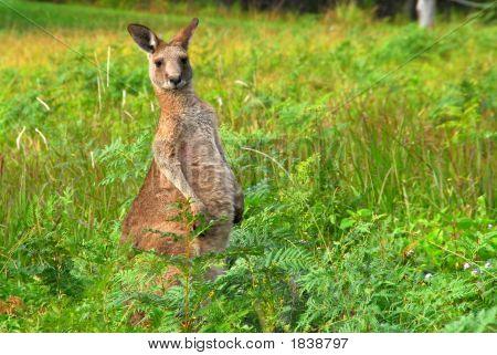Kangaroo - An Australian Icon