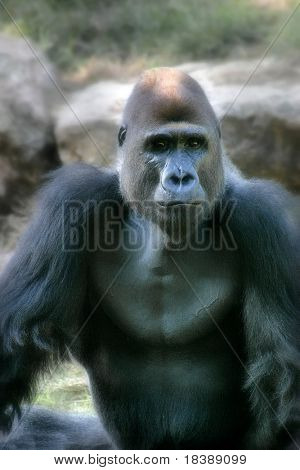 Vertical oriented portrait  of big black ape in zoo.