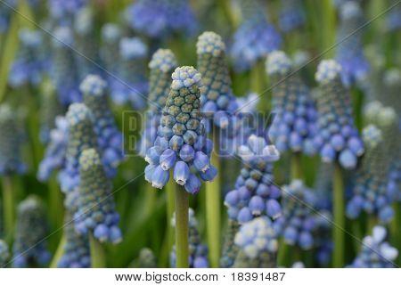 blue bulb springflower, the grape hyacinth muscari