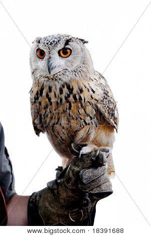 siberian eagle owl or bubo bubo sibiricus held by his handler